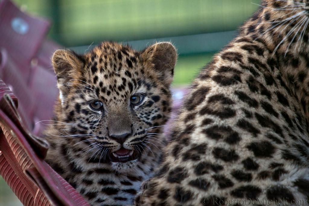 slides/IMG_3501.jpg wildlife, feline, big cat, cat, predator, fur, leopard, cub, amur, siberian, eye WBCW71 - Amur Leopard Cub